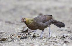 Female Red Jungle Fowl (Gallus gallus) stock images