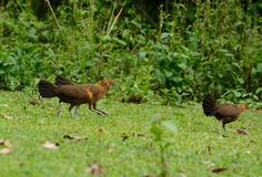 Female Red junglefowl (Gallus gallus) Royalty Free Stock Image