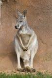 Female  red kangaroo, Megaleia rufa Stock Photo