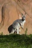Female  red kangaroo, Megaleia rufa Royalty Free Stock Photo