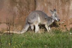 Female  red kangaroo, Megaleia rufa Stock Photos