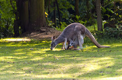 Female red Kangaroo Royalty Free Stock Image