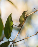 Female Red-legged Honeycreeper Stock Photography