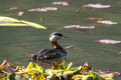Female red-necked grebe swims in lake.