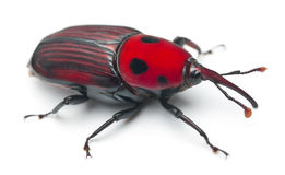 Female Red palm weevil Royalty Free Stock Image