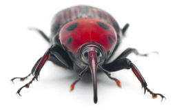 Female Red palm weevil, Rhynchophorus Royalty Free Stock Photo