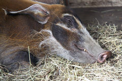 Female Red River Hog asleep Royalty Free Stock Image