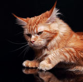 Female red solid maine coon cat with beautiful brushes on the ea Royalty Free Stock Photos