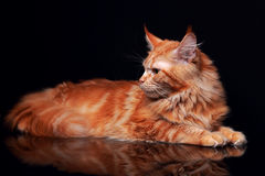 Female red solid maine coon cat with beautiful brushes on the ea Stock Photos