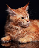 Female red solid maine coon cat with beautiful brushes on the ea Stock Photography