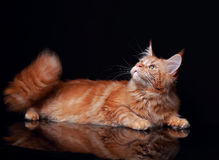 Female red solid maine coon cat lying with beautiful brushes on Royalty Free Stock Image