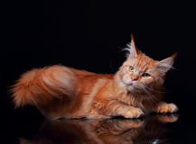 Female red solid maine coon cat lying with beautiful brushes and Stock Image