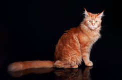 Female red solid maine coon cat sitting with beautiful brushes o Stock Photos
