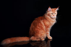 Female red solid maine coon cat sitting with beautiful brushes o Stock Photo