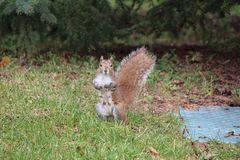 Female red squirrel standing Royalty Free Stock Photography