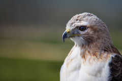 Female red tailed hawk Royalty Free Stock Images