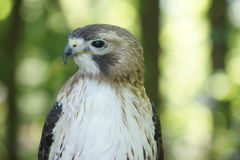 Female Red Tailed Hawk Royalty Free Stock Image