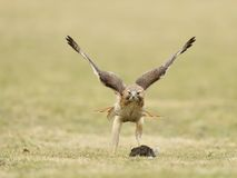 Female Red-tailed hawk with squirrel Stock Images