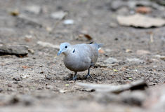 Female Red Turtle-Dove (Streptopelia tranquebarica) Stock Photography