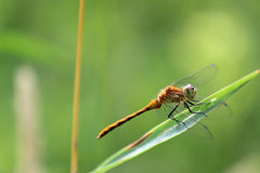 Female Red-veined darter Royalty Free Stock Photography