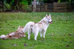 Female red-and-white siberian husky is standing graciously in the park. royalty free stock photos
