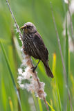 Female red wing blackbird Stock Image