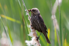 Female red wing blackbird Royalty Free Stock Images