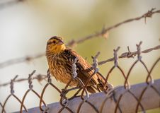 A female Red winged black bird sits on a fence royalty free stock photo