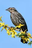 Female Red-winged Blackbird Royalty Free Stock Images