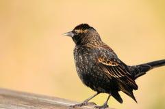 Female Red-winged Blackbird stock image