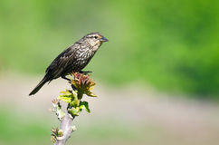 Female Red-Winged Blackbird Royalty Free Stock Image
