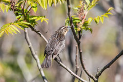 Female Red-Winged Blackbird Stock Photography