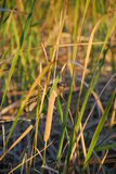 Female Red Winged Blackbird. On a bulrush in a swamp stock image