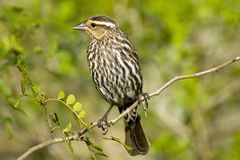 Female Red-winged Blackbird. A Female Red-winged Blackbird perched high up in a tree Royalty Free Stock Image