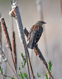 Female Red-winged Blackbird Stock Photos