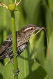 Female Red-winged Blackbird - Agelaius phoeniceus Stock Photos