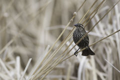 Female Red-Winged Blackbird Royalty Free Stock Photo