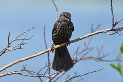 Female Red-winged Blackbird on a branch Stock Photography
