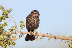 Female Red-winged Blackbird  on a Branch. Female Red-winged Blackbird (Agelaius phoenicius) - Texas Stock Photo