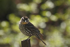Female Red Winged Blackbird, green background, Royalty Free Stock Photos