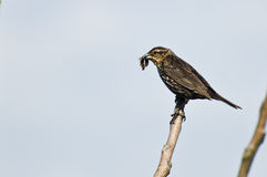 Female Red-Winged Blackbird Holding Dead Prey Stock Photos