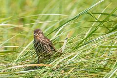 Female red-winged blackbird with hunted insects hanging out of her mouth holding onto reeds in a sea of tall grasses on a windy stock photography