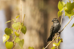 Female Red Winged Blackbird Royalty Free Stock Photography