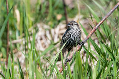 Perched Female Red-winged Blackbird Stock Images