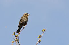Female Red-Winged Blackbird Perched in a Tree. In Spring Stock Image