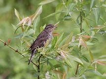 Female Red-winged Blackbird Reflection Stock Photo