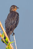 Female Red-winged Blackbird Stock Image