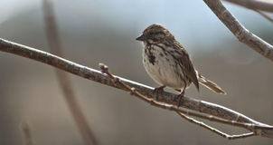 Song sparrow. A song sparrow standing on a tree branch shot on a natural blur background royalty free stock image