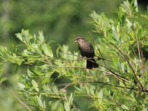 Female Red Winged Blackbird Stock Images