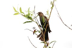 Female Red Winged Blackbird Stock Photo